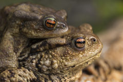 Mating Common Toads. Close up Stock Photos