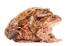 Mating couple of the common toad Bufo bufo. Mating couple of the common toad, Bufo bufo. A male animal in amplexus on the female. Amphibian isolated on white Stock Photos