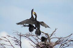 Mating Couple Of Cormorans royalty free stock photography