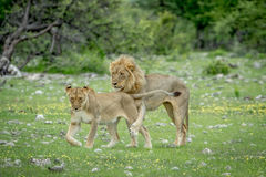 Mating couple of Lions in the grass. Royalty Free Stock Photo