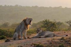 Mating couple of Lions (Panthera leo krugerii) stock photos