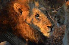 Mating couple Panthera leo Krugeri Royalty Free Stock Photo