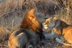 Mating couple Panthera leo Krugeri Stock Photos