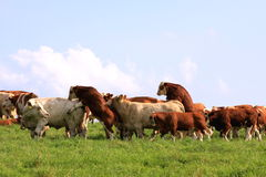 Mating cow and bull stock photos