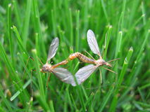 Mating crane flies. Two crane flies insects having sex (mating) in the grass Royalty Free Stock Image