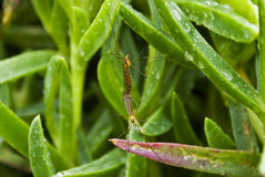 Mating crane flies Stock Photos
