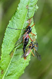 Mating of crane flies Royalty Free Stock Photo