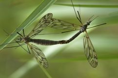 Mating Craneflies. Two mating craneflies with the focus on the smaller male insect stock image