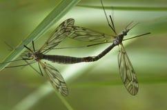 Mating Craneflies Stock Image