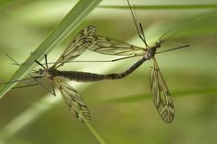 Mating Craneflies. Two mating craneflies with the focus on the larger female insect Stock Photography