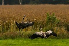 Mating cranes stock image