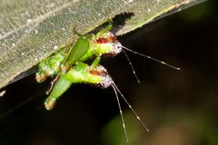 Mating crickets. Stock Photography