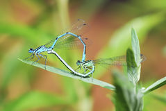 Mating damselflies Royalty Free Stock Image