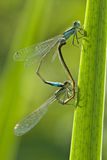 Mating of damselflies Stock Image