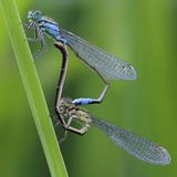 Mating Damselflies Stock Photo