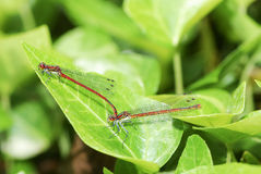 Mating damselflies Stock Photos