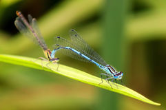 Mating damselflies Stock Image
