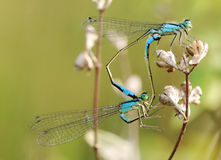 Mating damselflies Royalty Free Stock Images