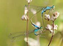 Free Mating Damselflies Royalty Free Stock Images - 7992009