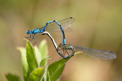 Mating Damselflies - Coenagrion scitulum Royalty Free Stock Images