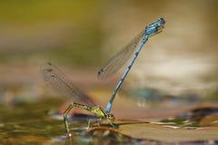 Mating Damselflies Stock Photo