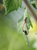 Mating damselflies heart Royalty Free Stock Images