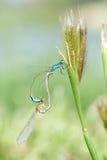 Mating damselflies Stock Photography