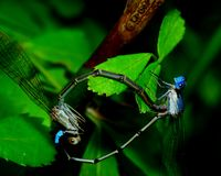 Mating Damselflies Royalty Free Stock Photos