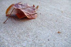 Mating Dance. Two autumn leaves. Strategically positioned to represent an embrace Royalty Free Stock Photos