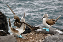 Mating Dance. A 'Blue Footed Booby' male bird doing a mating dance to lure the female Stock Image