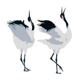 Mating dance of cranes. Two cranes dancing at a white background Stock Images