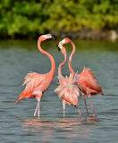 Mating dance of a flamingo Royalty Free Stock Photo