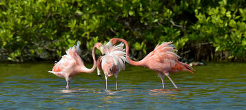 Mating dance of a flamingo Royalty Free Stock Images