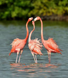 Mating dance of a flamingo Royalty Free Stock Photos