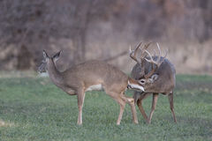Mating Dance. Massive whitetail buck that is smelling a female doe that is in heat. They are in the process of reproduction royalty free stock photography
