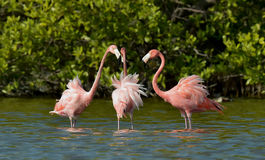 Free Mating Dance Of A Flamingo Stock Image - 55501531