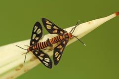 Mating Daylight Flying Moth Royalty Free Stock Photo