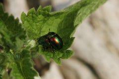 Mating Dead-Nettle Leaf Beetle Stock Image