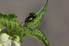 Mating Dead-Nettle Leaf Beetle Stock Images
