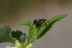 Mating Dead-Nettle Leaf Beetle Royalty Free Stock Images