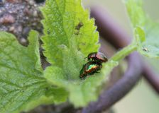 Mating Dead-Nettle Leaf Beetle Royalty Free Stock Image