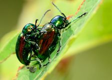 Mating Dogbane Beetles Royalty Free Stock Photography