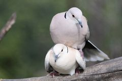 Mating Doves. Two beautiful ring necked doves mating on a tree branch stock images