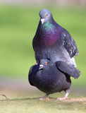 Mating doves Royalty Free Stock Images