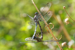 Mating Dragonflies Royalty Free Stock Photography