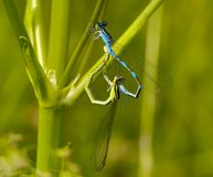 Mating of dragonflies Stock Images