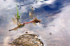 Mating dragonflies in flight Stock Photo