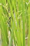 Mating dragonflies Royalty Free Stock Photos