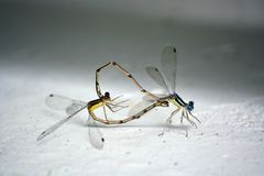 Mating Dragonflies. A pair of mating dragonflies that form a heart Stock Images