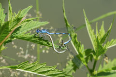 Mating dragonflies sitting in the grass near a pond Stock Photo